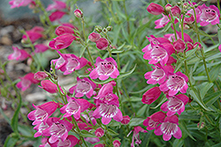 Red Rocks Beard Tongue (Penstemon x mexicali 'Red Rocks') at Wallitsch Nursery And Garden Center