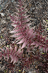 Burgundy Lace Painted Fern (Athyrium nipponicum 'Burgundy Lace') at Wallitsch Nursery And Garden Center
