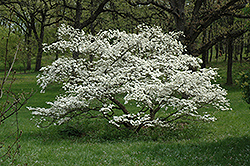 Cherokee Princess Flowering Dogwood (Cornus florida 'Cherokee Princess') at Wallitsch Nursery And Garden Center