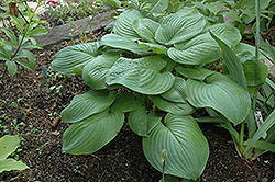 Fried Green Tomatoes Hosta (Hosta 'Fried Green Tomatoes') at Wallitsch Nursery And Garden Center