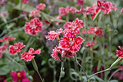Strawberry Sorbet Pinks (Dianthus 'Strawberry Sorbet') at Wallitsch Nursery And Garden Center