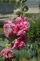 Chater's Double Pink Hollyhock (Alcea rosea 'Chater's Double Pink') at Wallitsch Nursery And Garden Center
