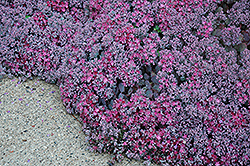 Lidakense Stonecrop (Sedum cauticola 'Lidakense') at Wallitsch Nursery And Garden Center