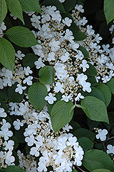 Maries Doublefile Viburnum (Viburnum plicatum 'Mariesii') at Wallitsch Garden Center