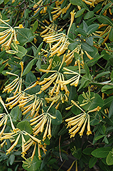 John Clayton Trumpet Honeysuckle (Lonicera sempervirens 'John Clayton') at Wallitsch Garden Center