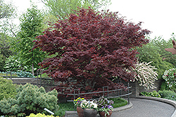 Bloodgood Japanese Maple (Acer palmatum 'Bloodgood') at Wallitsch Nursery And Garden Center