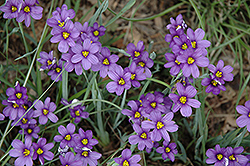 Lucerne Blue-Eyed Grass (Sisyrinchium angustifolium 'Lucerne') at Wallitsch Garden Center