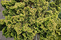 Dwarf Golden Hinoki Falsecypress (Chamaecyparis obtusa 'Nana Lutea') at Wallitsch Nursery And Garden Center