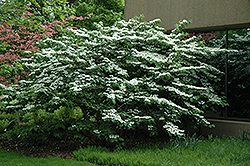Shasta Doublefile Viburnum (Viburnum plicatum 'Shasta') at Wallitsch Garden Center