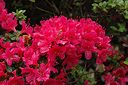 Hino Crimson Azalea (Rhododendron 'Hino Crimson') at Wallitsch Nursery And Garden Center