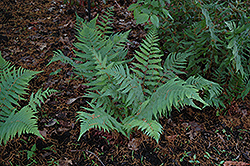 Dixie Wood Fern (Dryopteris x australis) at Wallitsch Garden Center