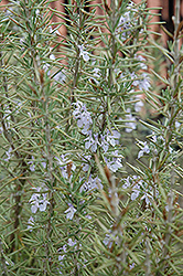 Arp Rosemary (Rosmarinus officinalis 'Arp') at Wallitsch Nursery And Garden Center