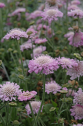 Pink Mist Pincushion Flower (Scabiosa 'Pink Mist') at Wallitsch Nursery And Garden Center