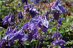 Alpine Columbine (Aquilegia alpina) at Wallitsch Nursery And Garden Center
