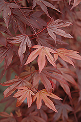 Fireglow Japanese Maple (Acer palmatum 'Fireglow') at Wallitsch Garden Center