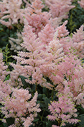 Peach Blossom Astilbe (Astilbe x rosea 'Peach Blossom') at Wallitsch Nursery And Garden Center