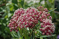 Cinderella Milkweed (Asclepias incarnata 'Cinderella') at Wallitsch Garden Center