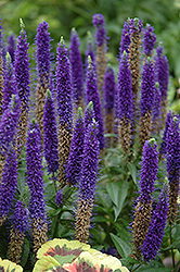 Royal Candles Speedwell (Veronica spicata 'Royal Candles') at Wallitsch Nursery And Garden Center