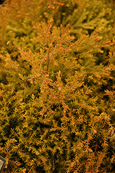 Fire Chief™ Arborvitae (Thuja occidentalis 'Congabe') at Wallitsch Nursery And Garden Center