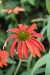 Tomato Soup Coneflower (Echinacea 'Tomato Soup') at Wallitsch Nursery And Garden Center