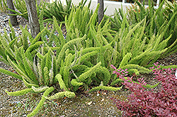 Foxtail Fern (Asparagus meyeri) at Wallitsch Garden Center