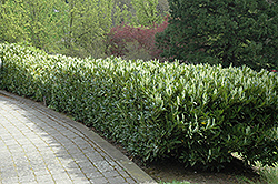 Schipka Cherry Laurel (Prunus laurocerasus 'Schipkaensis') at Wallitsch Garden Center