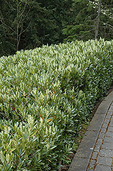 Otto Luyken Dwarf Cherry Laurel (Prunus laurocerasus 'Otto Luyken') at Wallitsch Nursery And Garden Center