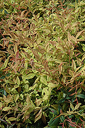 Gulf Stream Dwarf Nandina (Nandina domestica 'Gulf Stream') at Wallitsch Garden Center