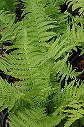 The King Ostrich Fern (Matteuccia 'The King') at Wallitsch Garden Center
