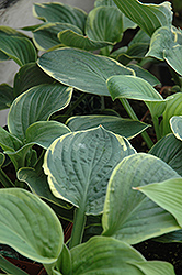 Christmas Tree Hosta (Hosta 'Christmas Tree') at Wallitsch Garden Center