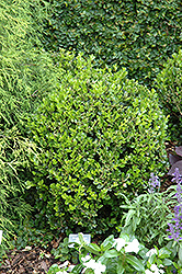 Winter Gem Boxwood (Buxus microphylla 'Winter Gem') at Wallitsch Nursery And Garden Center