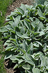 Giant Lamb's Ears (Stachys byzantina 'Big Ears') at Wallitsch Nursery And Garden Center
