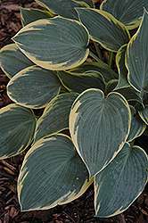 First Frost Hosta (Hosta 'First Frost') at Wallitsch Nursery And Garden Center