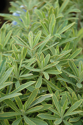 Ascot Rainbow Variegated Spurge (Euphorbia 'Ascot Rainbow') at Wallitsch Garden Center