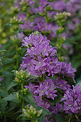 Freya Clustered Bellflower (Campanula glomerata 'Freya') at Wallitsch Nursery And Garden Center