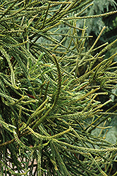 Araucarioides Japanese Cedar (Cryptomeria japonica 'Araucarioides') at Wallitsch Nursery And Garden Center