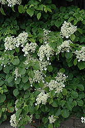 Climbing Hydrangea (Hydrangea anomala 'var. petiolaris') at Wallitsch Nursery And Garden Center