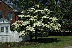 Chinese Dogwood (Cornus kousa) at Wallitsch Garden Center