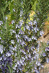 Rosemary (Rosmarinus officinalis) at Wallitsch Nursery And Garden Center