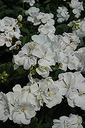 Tango White Geranium (Pelargonium 'Tango White') at Wallitsch Garden Center