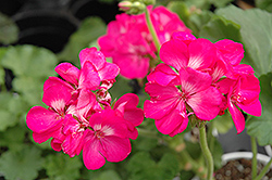 Rocky Mountain Deep Rose Geranium (Pelargonium 'Rocky Mountain Deep Rose') at Wallitsch Garden Center