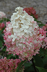 Vanilla Strawberry™ Hydrangea (Hydrangea paniculata 'Renhy') at Wallitsch Garden Center