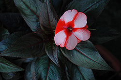 Sonic® Sweet Orange New Guinea Impatiens (Impatiens 'Sonic Sweet Orange') at Wallitsch Garden Center