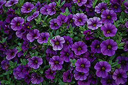 Cabaret® Deep Blue Calibrachoa (Calibrachoa 'Cabaret Deep Blue') at Wallitsch Garden Center