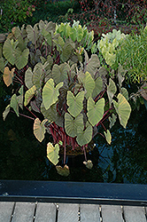 Royal Hawaiian® Maui Magic Elephant Ear (Colocasia esculenta 'Maui Magic') at Wallitsch Garden Center