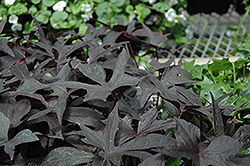 Blackie Sweet Potato Vine (Ipomoea batatas 'Blackie') at Wallitsch Nursery And Garden Center