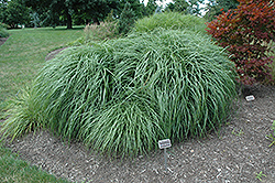Adagio Maiden Grass (Miscanthus sinensis 'Adagio') at Wallitsch Nursery And Garden Center