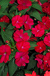 SunPatiens® Compact Royal Magenta New Guinea Impatiens (Impatiens 'SunPatiens Compact Royal Magenta') at Wallitsch Garden Center