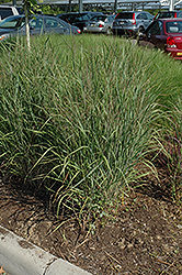 Ruby Ribbons Switch Grass (Panicum virgatum 'Ruby Ribbons') at Wallitsch Nursery And Garden Center