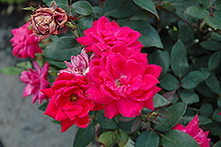 Red Double Knock Out Rose (Rosa 'Red Double Knock Out') at Wallitsch Garden Center